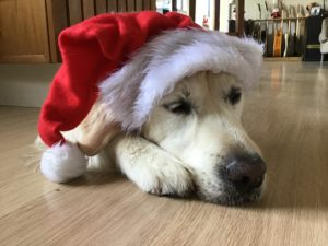 Golden Retriever lying on a polished wood floor with a Santa hat on his head.