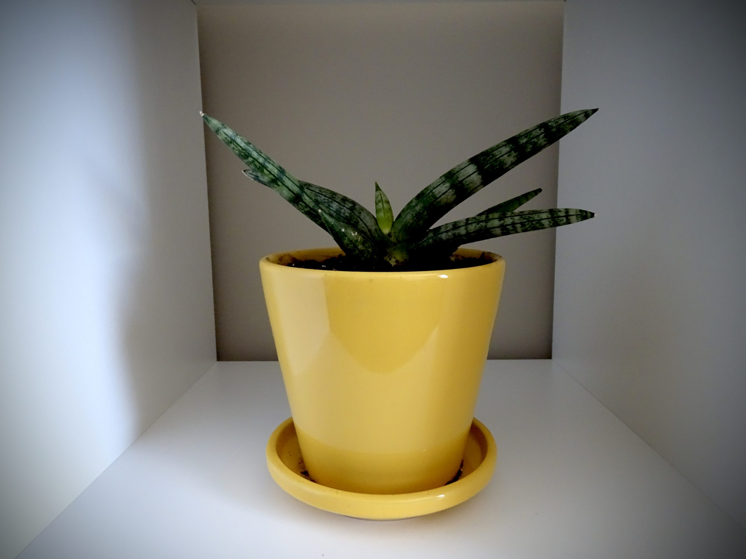 Sarah's pot plant in her home office: Sanseveiria - the snake plant