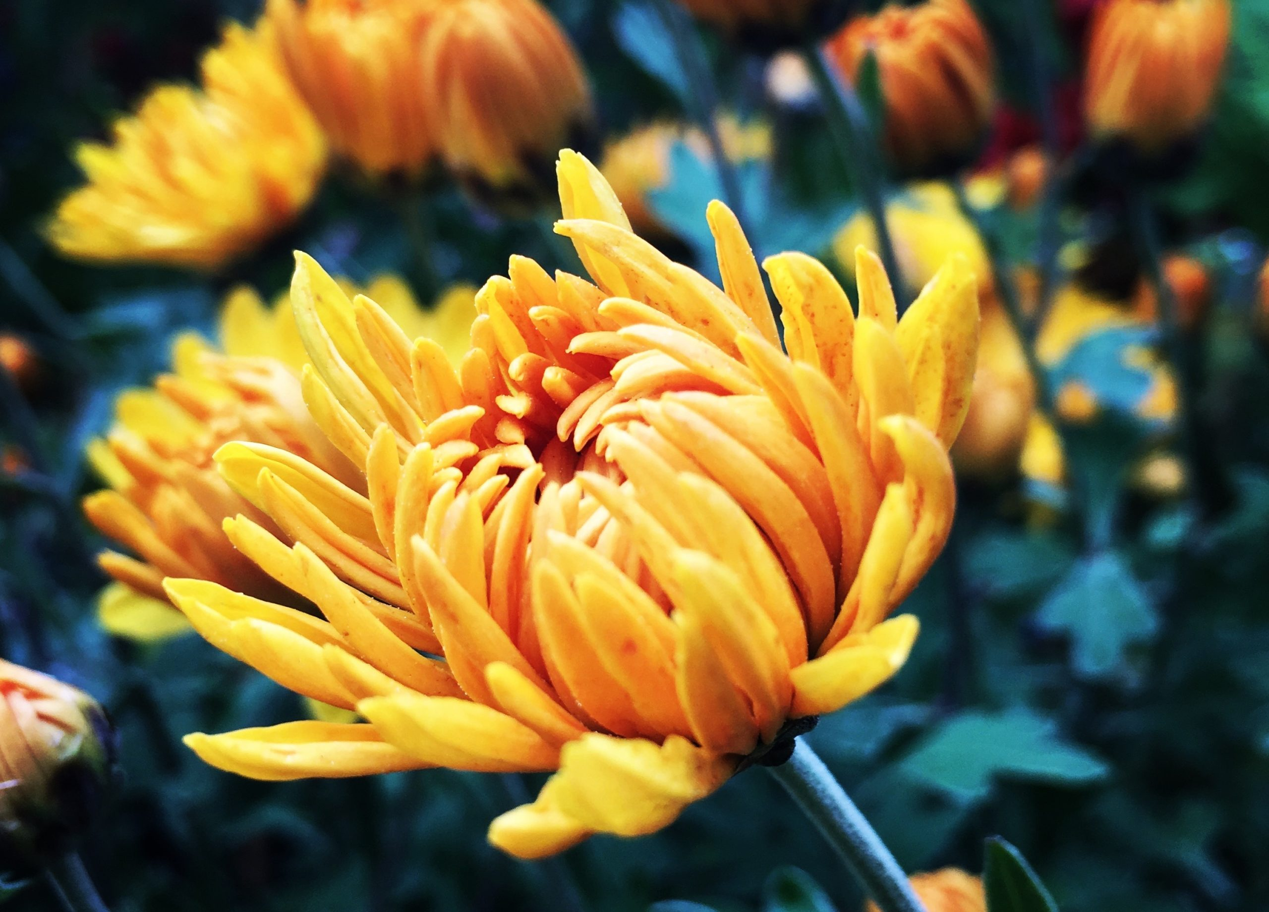 Beginnings are my favorite. They are often as pretty as this flower, unfurling its golden petals as it embraces life
