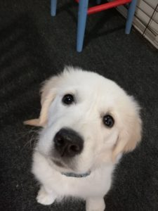It was all down to this fellow who woke Ashley up and gave her a quiet moment to think of the opening lines for our first book. Pictured is Reilly, Ashley's golden retriever puppy.