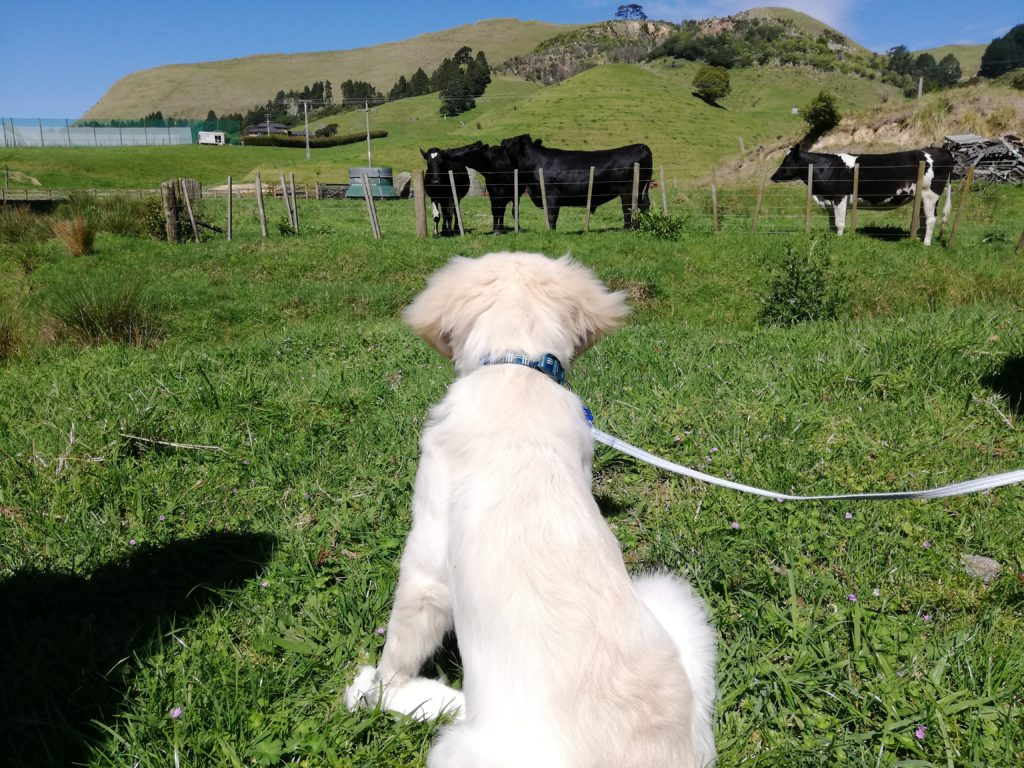 Reilly, Ashley's puppy has just discovered cows. He seems to be studying them intently. Perhaps he has some research tips of his own to share!
