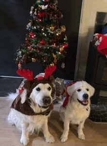 Merry Christmas from Tucker and Reilly, Ashley's two golden retriever dogs. Tucker is reindeer antlers and Reilly is wearing a Santa hat.